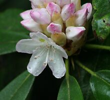 here come the rhodies by Christopher  Ewing