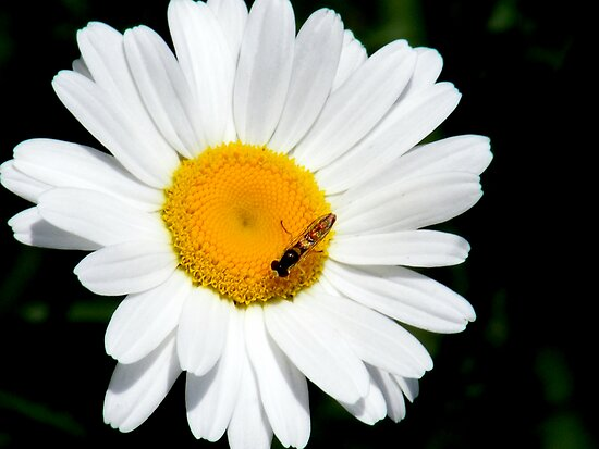Daisy by rebecca smith