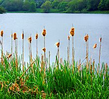 Bullrushes II by Tom Gomez