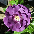 Glorious rich purple rose by LoneAngel
