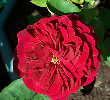 Vibrant Red Rose by LoneAngel