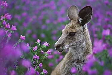 Roo in flowers. by DaveBassett