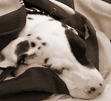 Great Dane Puppy Sleeping by sachapacker