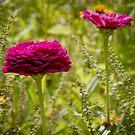 Purple Zinnia in a flower field by KSKphotography