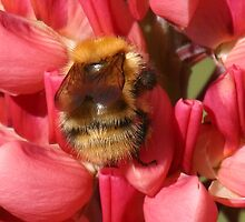 Bee on lupin 3 by orchidcat