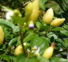 Chilis Yellow by beeden