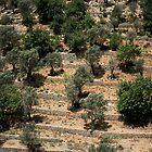Mallorcan Stepped Olive Groves by Frederick Wood