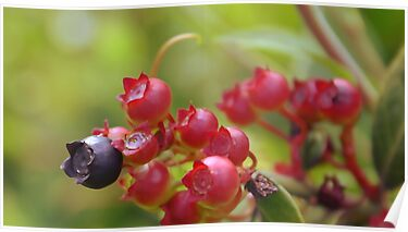 Red Blueberries by MMerritt