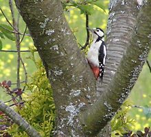 Great Spotted Woodpecker UK Lake District by jay12