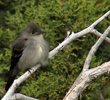 Western Wood Peewee by Ryan Houston