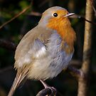 European robin by M G  Pettett