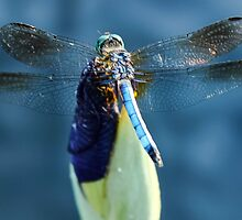 Wow a dragonfly by Michael August