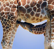 NURSING GIRAFFE by Michael Sheridan