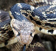 Gopher Snake by Kimberly Palmer