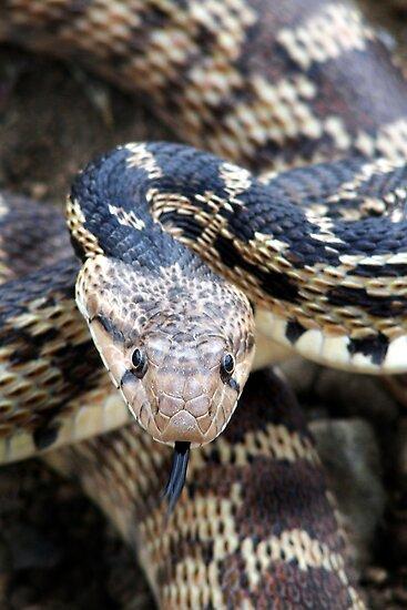 Gopher Snake by Kimberly Palmer