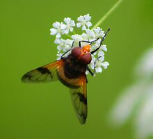 Hoverfly by jdmphotography