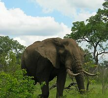 Kruger Elephant by Natalie Broome