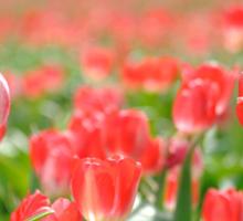 Tulip Fields  - Woodburn, Oregon Sticker