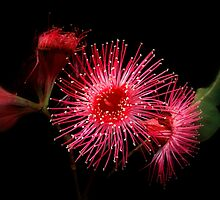 """"""" Gum Blossom"""".. by debsphotos"""