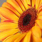Gerbera Daisy by Kimberly Johnson