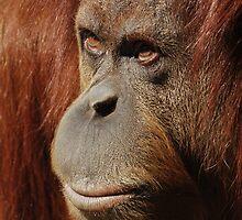 Orangutan by monkeyboy
