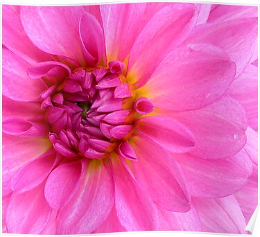 Pink Wonder by DavidROMAN