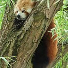 Red Panda by Stuart Woodcock