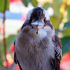 Kookaburra by Zaven Jordan