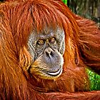 Orangutan Stare by Scott Ward