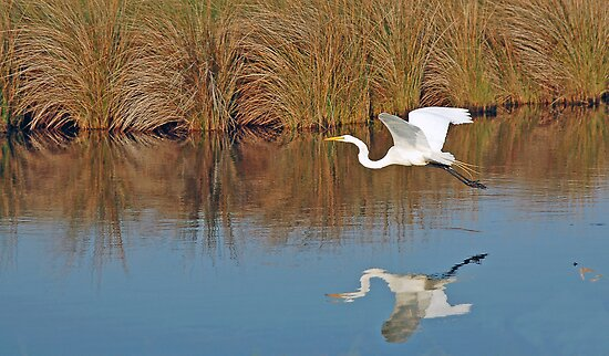 The Great White in flight by Angel Perry