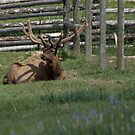 Mr. Elk by Melissa  Hintz