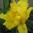 Yellow Daffodil by gypsykatz