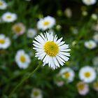daisy by Joel Wigley