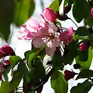 Pink AppleBlossoms by gypsykatz