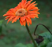 Orange Daisy by BengLim