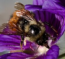 Bumble Bee Macro by David Chappell
