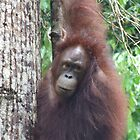 Wild Orang Utan - Danum Valley - Borneo by David Meyer