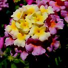Lantana by stopthat