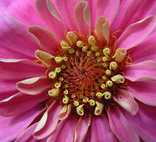 Zinnia by stopthat