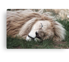 White Lion Sleeping Canvas Print