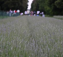 Lavender at Kew by id4jd