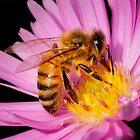 DOMESTIC HONEY BEE by Sandy Stewart