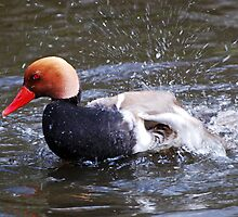 Red-crested Pochard by Jay Payne