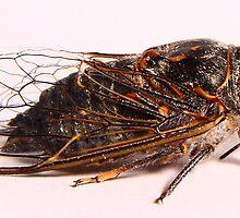 The noisiest cecada by SB  Sullivan