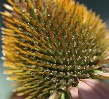 Echinacea Flower  by Shawnna Taylor