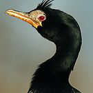 Long-tailed cormorant by Paulo van Breugel