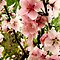 Bright pink peach blossoms of spring by supercamel