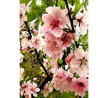 Bright pink peach blossoms of spring Photographic Print