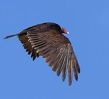 Turkey Vulture by tomryan