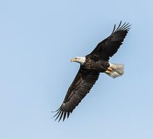 American Bald Eagle 2015-7 by Thomas Young